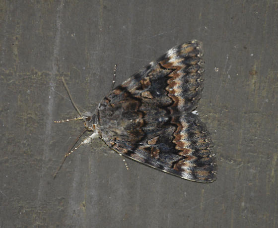 possible underwing - Catocala epione