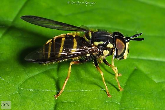Diptera. Syrphidae? - Chrysotoxum - male