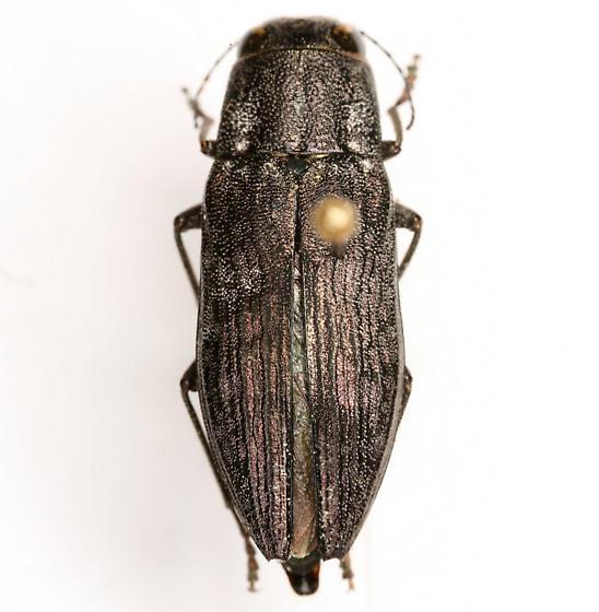 Spectralia roburella (Knull) - Spectralia roburella