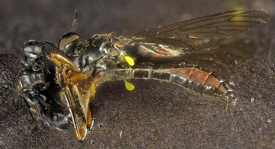 wasp vs. Diptera - Dioctria hyalipennis