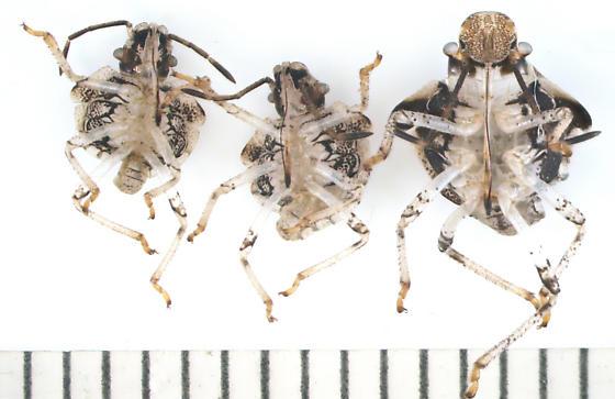 Pentatomidae, random exuvia, ventral - Euschistus