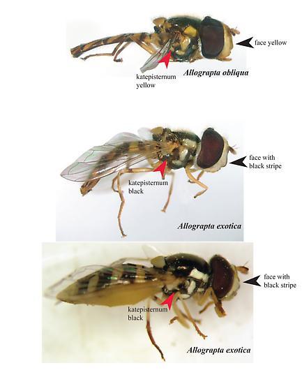 A. obliqua vs A. exotica - Allograpta