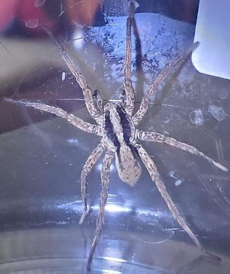 Wolf spider??? - Gladicosa gulosa