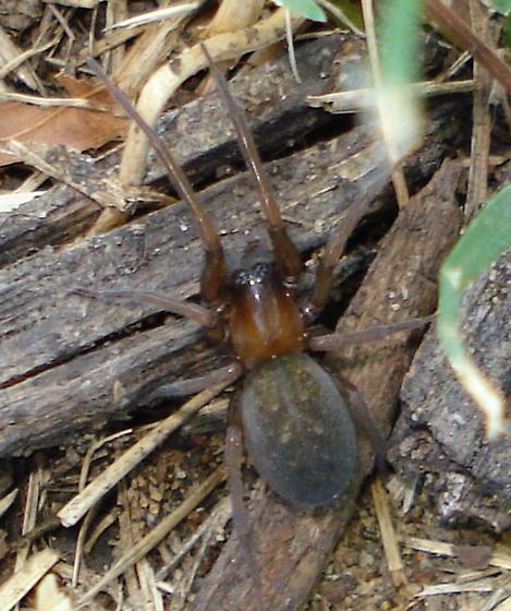 Ground Spider? - Metaltella simoni
