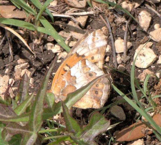 Variegated Fritillary - Euptoieta claudia - Euptoieta claudia