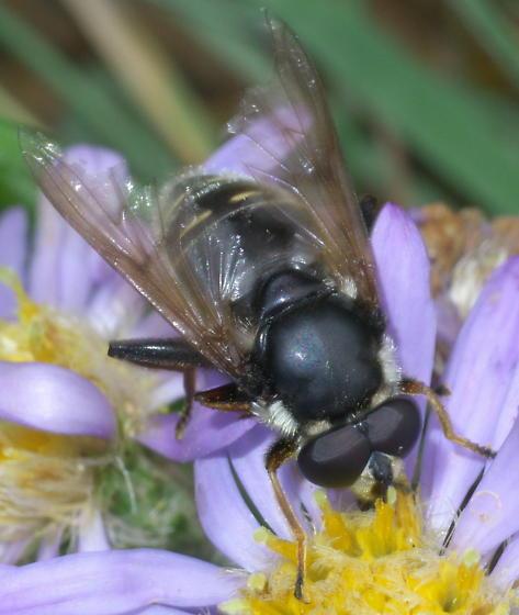 Black syrphid fly with white stripes - Sericomyia militaris - male