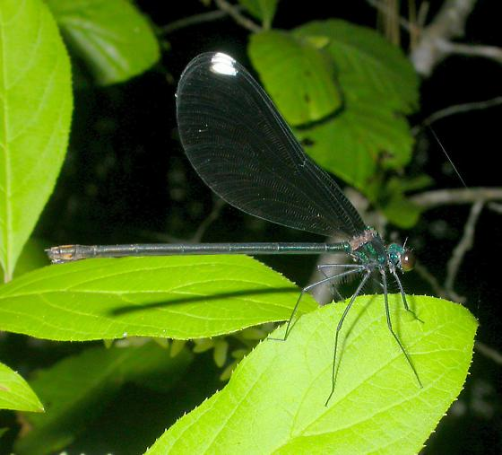 Ebony Jewelwing from TX - Calopteryx maculata - female