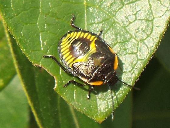 beetle on a milkweed - Chinavia hilaris