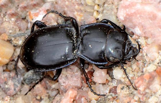 Darkling Beetle? - Pasimachus