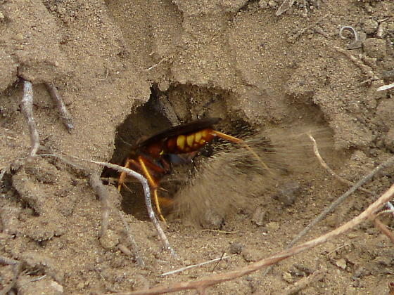 Poecilopompilus sp. - Poecilopompilus - female