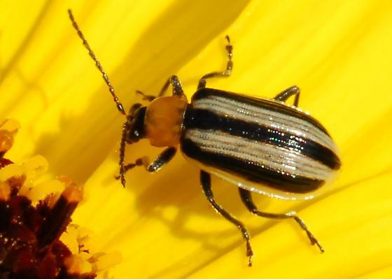 Kick boxing leaf beetle - Acalymma trivittatum