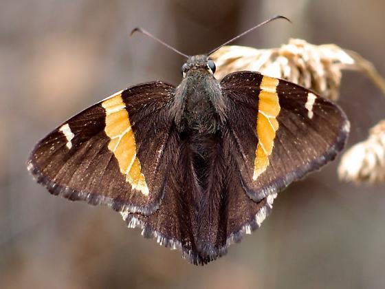 golden-banded skipper - Autochton cellus