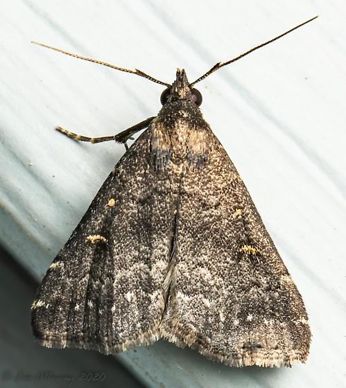 Moth 819 22 - Tetanolita mynesalis - male