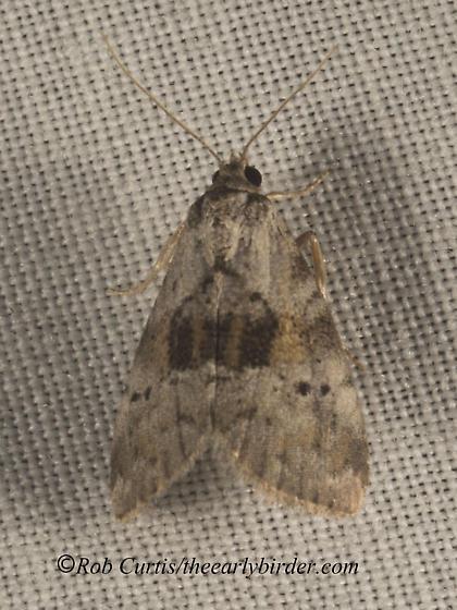 9049988 Elophila - Hyperstrotia secta
