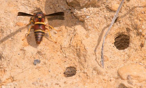 Euodynerus sp? - Euodynerus crypticus - male