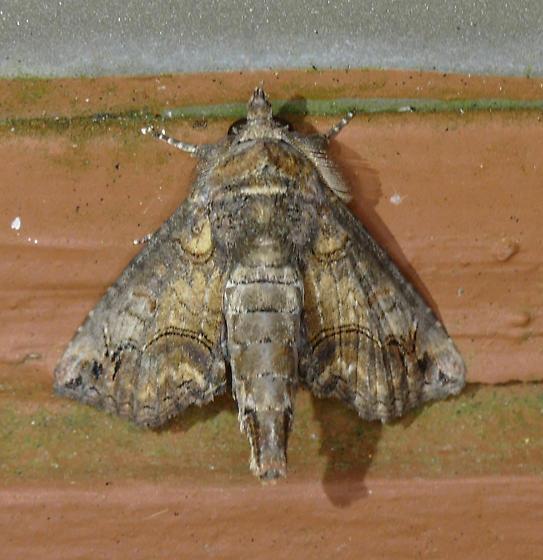 Texas SE Gulf Coast - Paectes abrostoloides