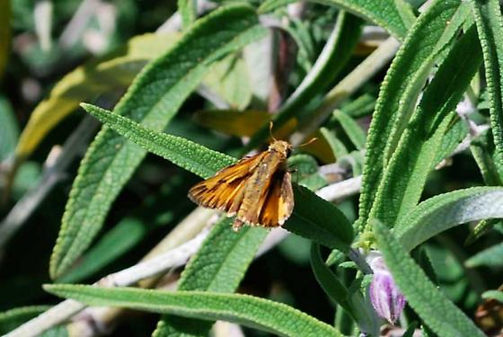 Skipper, Los Angeles County (La Brea Tar Pits) - Hylephila phyleus