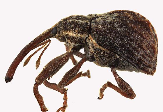 Weevil beetle - Anthonomus quadrigibbus