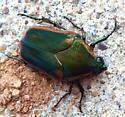 Beetle ID? - Cotinis nitida