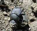 Dung Beetle - Canthon simplex