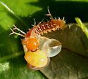 Saturniidae, Imperial, 1st instar - Eacles imperialis