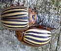 Leptinotarsa decemlineata - Colorado Potato Beetle? - Leptinotarsa decemlineata
