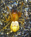 Tiny male spider - theridiid? - Theridion dilutum - male