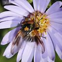 Phasia species - Phasia aurulans - male