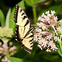 Eastern Tiger Swallowtail - Papilio glaucus - male