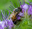 bee/fly with large orange bands on abdomen and tattered tan wings - Apis mellifera