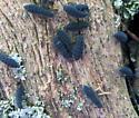 Springtails - Schoettella ununguiculatus