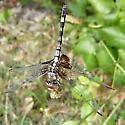 golden dragonfly - Dythemis fugax