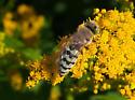 Cuckoo Bee? - Bembix