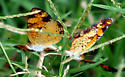 Are these pearl crescents? - Phyciodes tharos - male - female