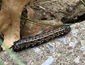 Caterpillar - Anisota