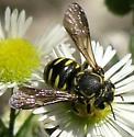 Bee - P7241663 - Paranthidium jugatorium