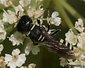 Square-headed Wasp - male - female