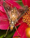 Striped Deer Fly - Chrysops vittatus - female