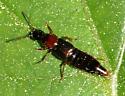 Rove Beetle - Quedius peregrinus