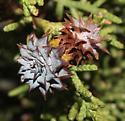 Walshomyia