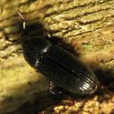 Small Beetle on Rotten Log - Cossonus platalea