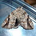 Sad Underwing Moth - Catocala maestosa