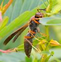 Isodontia elegans? - Polistes hirsuticornis