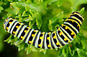 Swallowtail caterpillar? - Papilio zelicaon