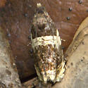 Tortricid Moth