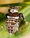 Pissonotus flabellatus