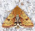 Moth - Heliothis acesias