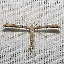 Ambrosia Plume Moth - Hodges#6160 - Adaina ambrosiae