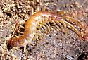 Stone Centipede? - Lithobius forficatus