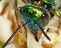 Agapostemon? - Augochloropsis metallica - female